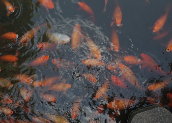 The koi pond at Yu Garden